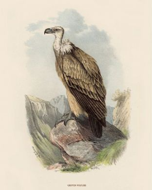 Vulture, Griffon by O V Riesenthal